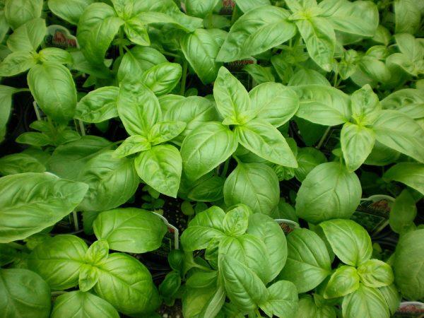 Ο Βασιλικός ανήκει στην οικογένεια Lamiaceae και στο είδος Ocymum basilicum. Χρησιμοποιείται κυρίως στην μαγειρική και λιγότερο στην θεραπευτική