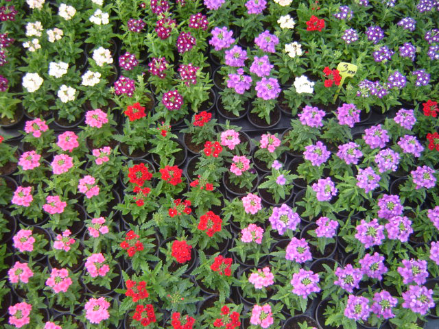 Η Βερβένα (Verbena hybrida) περιλαμβάνει φυτά που διακλαδίζονται εύκολα. Τα φύλλα τους είναι οδοντωτά, πράσινα. Τα άνθη τος είναι ενωμένα σε δέσμες που ανοίγουν από Μάιο έως Οκτώβριο σε ποικιλία χρωμάτων.