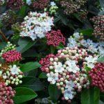 Το Βιβούρνο το κοινό (Viburnum tinum) είναι θάμνος αειθαλής, που φτάνει μέχρι τα 3 μέτρα ύψος. Ανθίζει από Δεκέμβριο έως Απρίλιο με λευκά άνθη