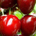 Η Βυσσινιά είναι δένδρο φυλλοβόλο, μικρού μεγέθους, με βλάστηση πλαγιόκλαδη. Φέρει φύλλα απλά, κατ΄εναλλαγή ελλειψοειδή, διπλά οδοντωτά, αδενοφόρα και σε χρώμα πιο πράσινο