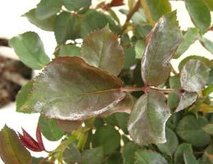 Το ωίδιο της τριανταφυλλιάς αποτελεί μια πολύ κοινή ασθένεια για την καλλιέργεια της τριανταφυλλιάς Sphaerotheca pannosa var. rosae