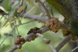 Η καρκίνωση φυματίωση της ελιάς είναι μια πολύ συχνή και διαδεδομένη ασθένεια που παρατηρείται σε ελαιόδεντρα σε όλη την Ελλάδα. Η ασθένεια οφείλεται στη προσβολή του δένδρου από το βακτήριο Pseudomonas savastanoi pv. savastanoi.