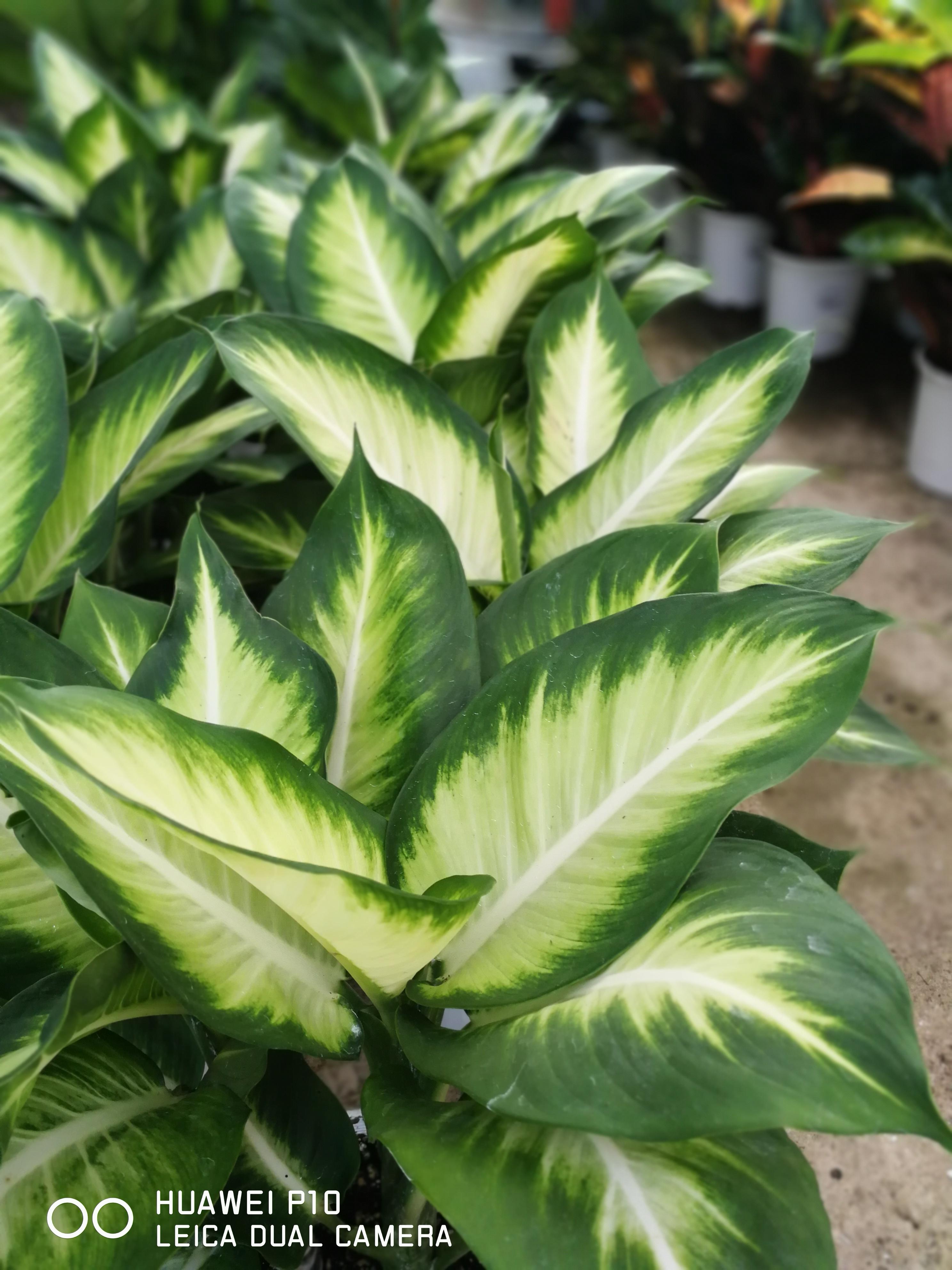 Η Ντιφενμπάχια, ανθεκτικό φυτό εσωτερικού χώρου Ντιφενμπάχια, μπορεί το όνομα της να μην είναι τόσο γνωστό, ωστόσο οι περισσότεροι κατά καιρούς την έχουμε θαυμάσει σε κάποιο σπίτι ή γραφείο. Με κεντρικό βλαστό που μοιάζει με καλάμι και φτάνει σε ύψος και το ένα μέτρο, η Ντιφενμπάχια .