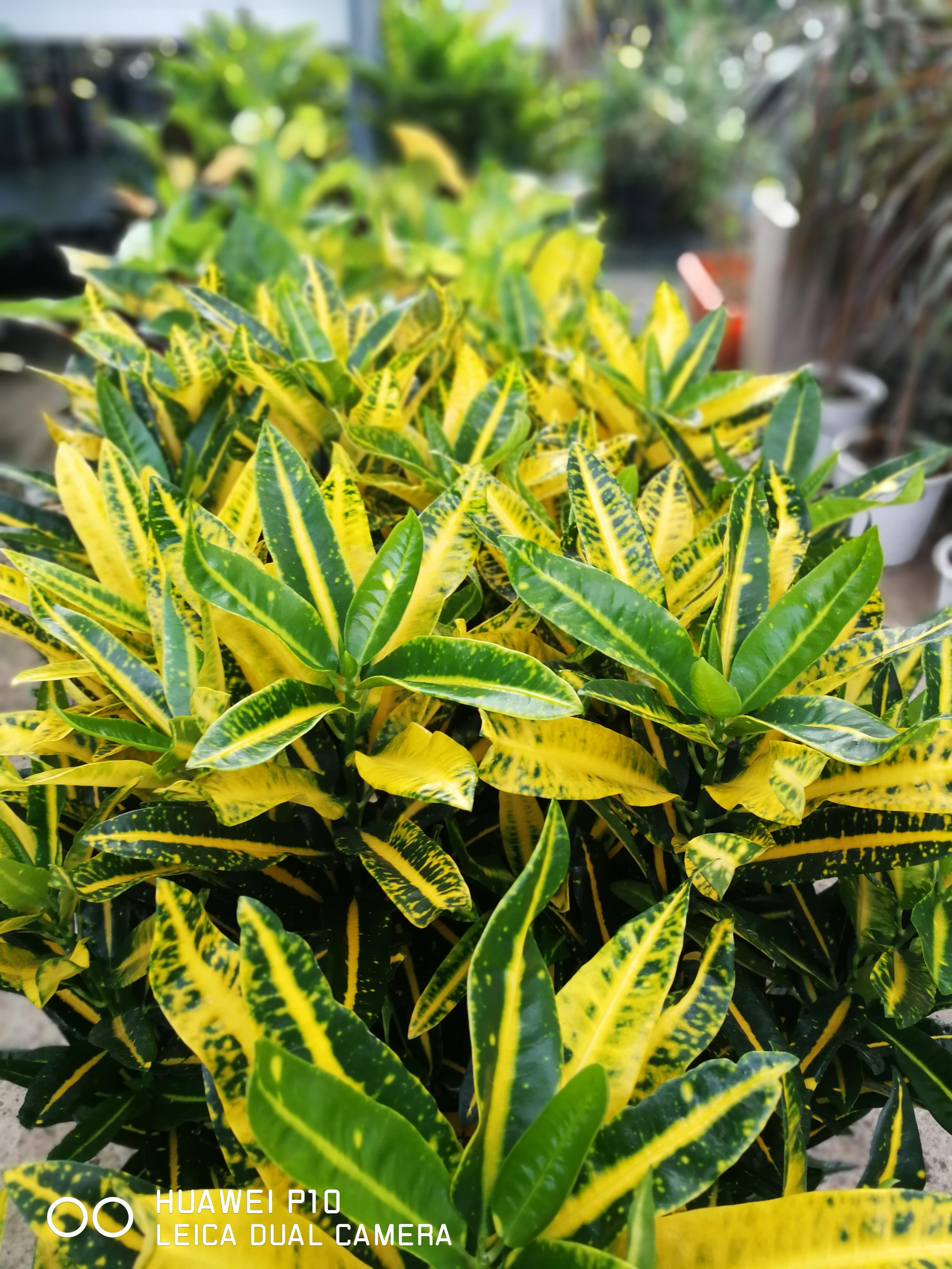 Ο Κρότωνας είναι ένα φυτό εντυπωσιακά χρωματιστό, που έχει καταγωγή από τα εξωτικά νησιά του Ειρηνικού και τη Μαλαισία. Πρόκειται για ένα θαμνώδες φυτό με φύλλα που έχουν σαρκώδη υφή. Μοιάζουν με δέρμα και που αν και αρχικά είναι πράσινα, αλλάζουν χρώματα καθώς ωριμάζουν.