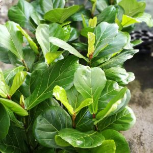 Φίκος λυράτα - μια πράσινη έκρηξη από φύλλα..