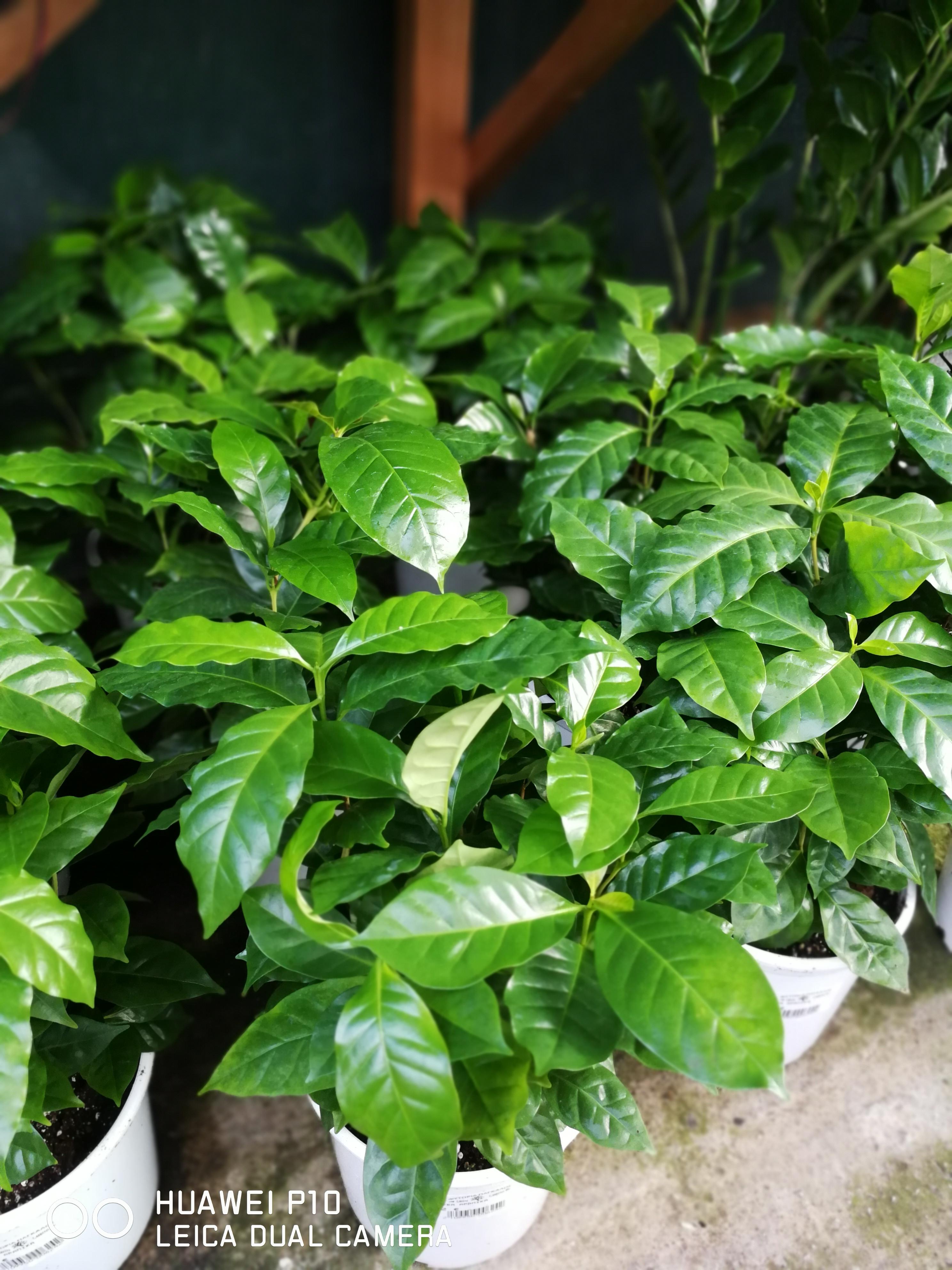 Η Κοφέα αράμπικα, Coffea arabica, προέρχεται από την Αιθιοπία, ενώ η Coffea canephora από την Ουγκάντα. Καλλιεργείται εντατικά στη λατινική Αμερική και στην Αφρική.