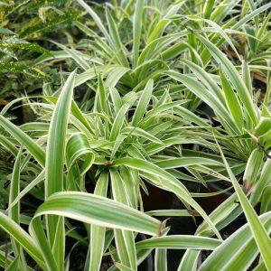 Το Χλωρόφυτο είναι αειθαλές τροπικό φυτό, εσωτερικού χώρου που κατάγεται από την Νότια Αφρική. Είναι ιδιαίτερα διαδεδομένο, διότι δεν χρειάζεται καμία ιδιαίτερη περιποίηση. Μπορείτε εύκολα να το δείτε να αναπτύσσεται και σε εξωτερικούς χώρους, αρκεί να επικρατούν ήπιες συνθήκες.