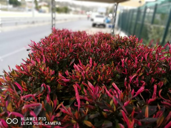 Η Αλτερναθέρα είναι πολυετής πόα, αειθαλής, χαμηλής ανάπτυξης με κοκκινωπό φύλλωμα και τελικό ύψος μέχρι 60cm. Ανθίζει τους καλοκαιρινούς μήνες με μικρά, λευκά άνθη και διατηρεί την ανθοφορία της μέχρι το φθινόπωρο.