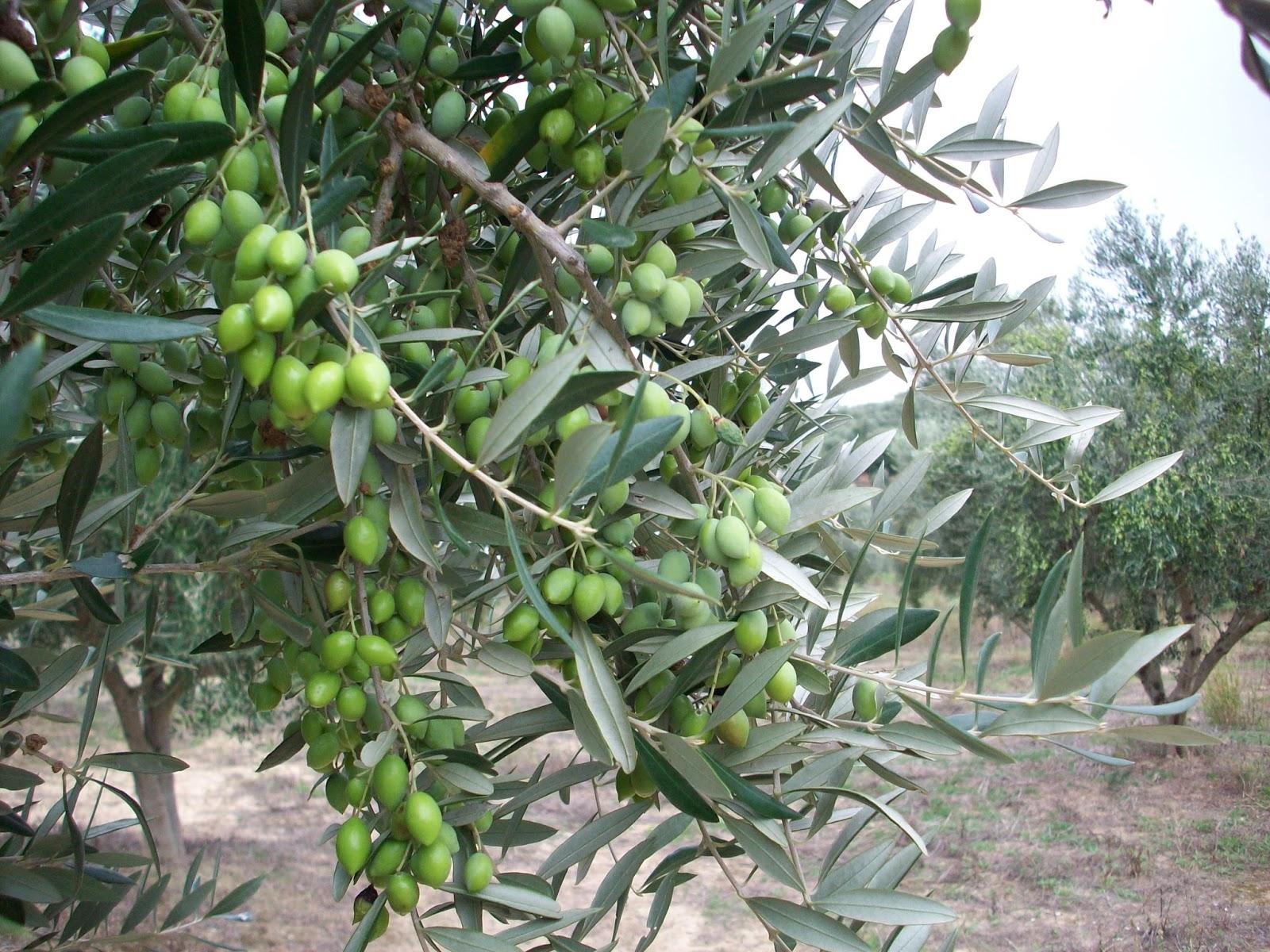 Το κλάδεμα των δένδρων ελιάς, αποτελεί μια σημαντικότατη καλλιεργητική φροντίδα. Το κλάδεμα, μαζί με την κατάλληλη λίπανση και άρδευση, μπορεί μέσο- μακροπρόθεσμα, να οδηγήσει σε ομοιόμορφη παραγωγή από χρονιά σε χρονιά. Να εξαλείψει δηλαδή ή να περιορίσει το φαινόμενο της παρενιαυτοφορίας