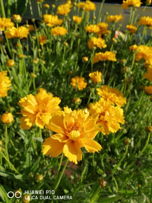 Κορέοψη - εντυπωσιακά κίτρινα άνθη Η Κορεόψη (Coreopsis verticillata «Grandiflora») περιλαμβάνει τρία χαρακτηριστικά είδη που καλλιεργούνται συχνότερα και είναι πιο διαδεδομένα.