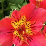 Η Αλστρομέρια είναι ένα μεγαλοπρεπές καλλωπιστικό φυτό με εντυπωσιακά λουλούδια που κατάγεται από την Νότιο Αμερική. Είναι γνωστό και ως «το κρίνο του Περού» ή «ο κρίνος των Ίνκας».