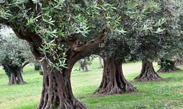 πάρχει μέλλον για την ελαιοκαλλιέργεια; - Πυκνή φύτευση ελιών Σε όλη την υφήλιο, από την Αργεντινή έως την Αυστραλία, κάθε χρόνο φυτεύονται εκατομμύρια Ελαιοδενδρύλλια. Αυξάνει βέβαια η ζήτηση για κατανάλωση του ελαιόλαδου, καθώς ολοένα και περισσότερα κοινωνικά στρώματα αποκτούν την δυνατότητα καλύτερης και ποιοτικότερης διατροφής, αλλά και η παραγωγή καλπάζει.