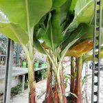 Η Μπανανιά είναι τροπικό, καρποφόρο δένδρο με μεγάλα, πλατιά και τοξωτά, πράσινα φύλλα με μήκος 2- 3μ. που σχηματίζουν μια ομπρέλα στην κορυφή ενός χυμώδους