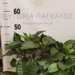 λεμονογαρδενια 2