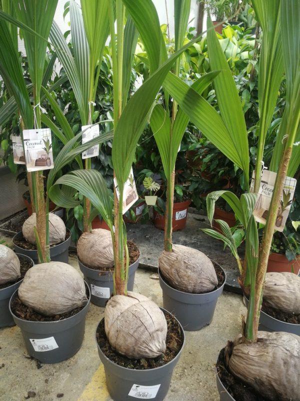 κόκος-cocos-nucifera 1