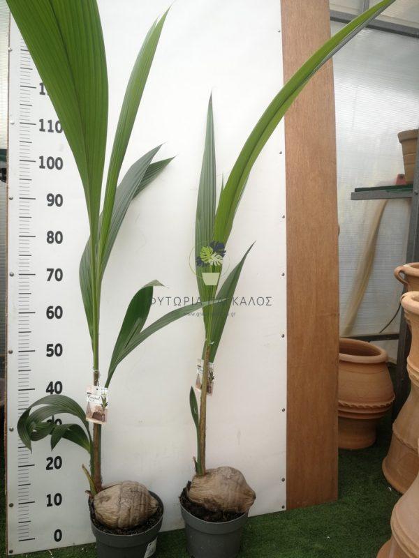κόκος-cocos-nucifera 2